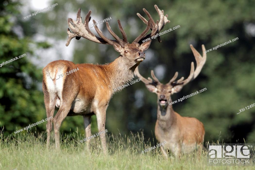 Stock Photo: Red Deer Cervus elaphus, two stags, Germany.