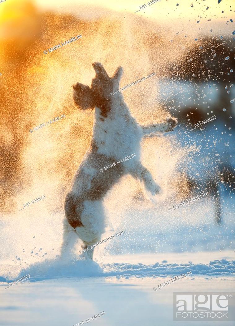 Stock Photo: English Springer Spaniel running through snow  Scotland  February.