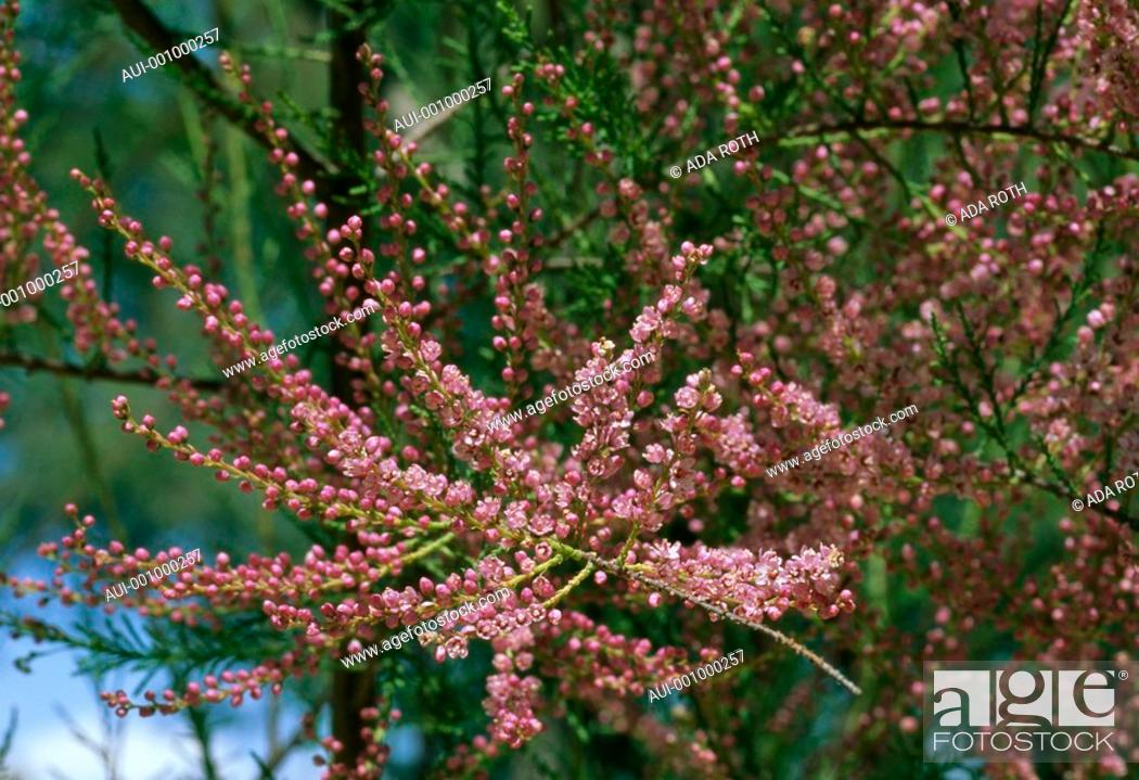 Stock Photo: Cotoneaster horizontalis - abundance of small pink flowers on delicate branches.