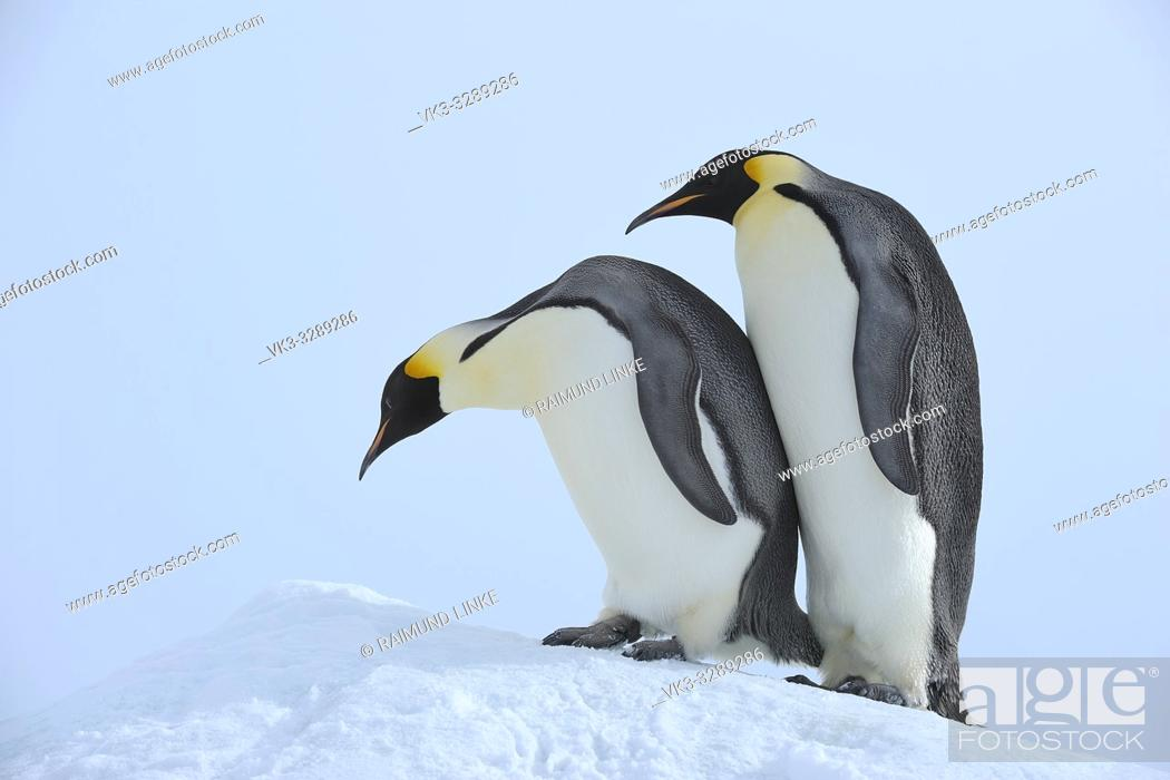 Stock Photo: Emperor penguins, Aptenodytes forsteri, Two Adults, Snow Hill Island, Antartic Peninsula, Antarctica.