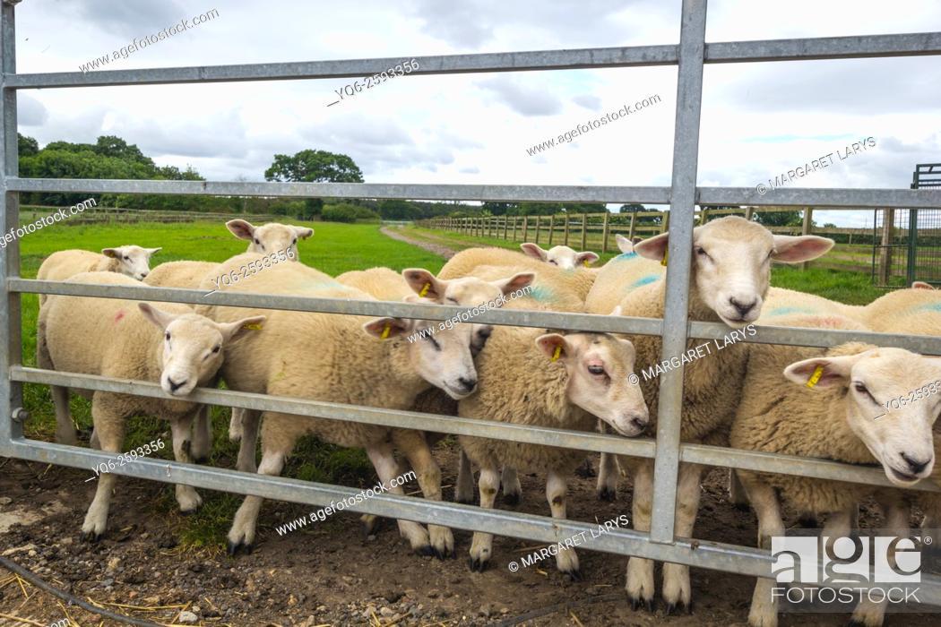 Stock Photo: Sheep at the farm behind metal fence, Yorkshire, England, United Kingdom.