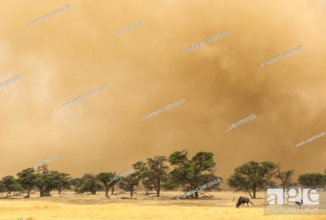 Stock Photo: Blue Wildebeest (Connochaetes taurinus). At the edge of a sandstorm in the dry Nossob riverbed with camelthorn trees (Acacia erioloba).