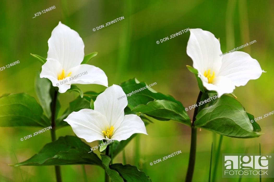 Stock Photo: Large-flowered Trillium Trillium grandiflorum.