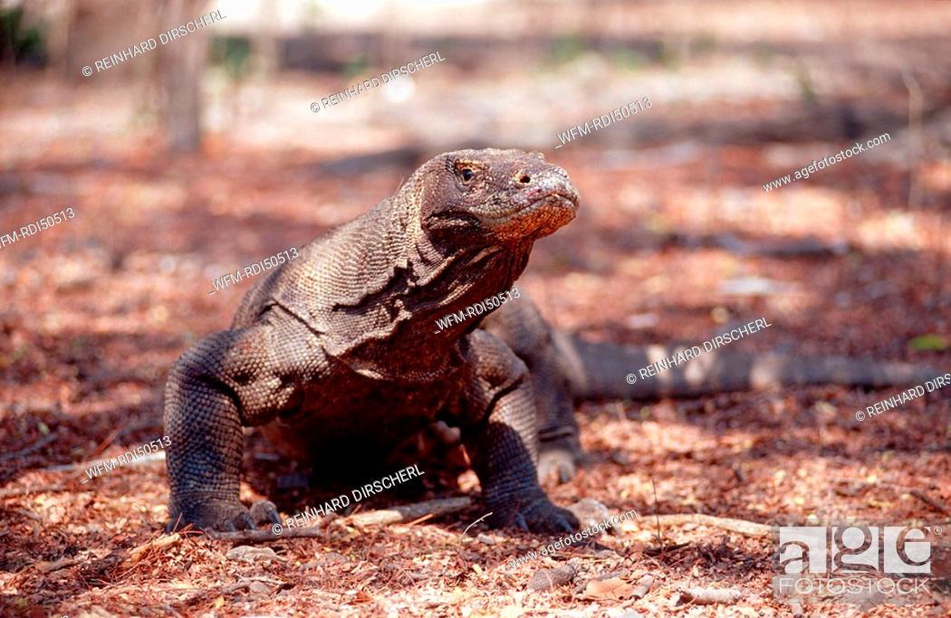 Komodo dragon in natural environment, Varanus komodoensis