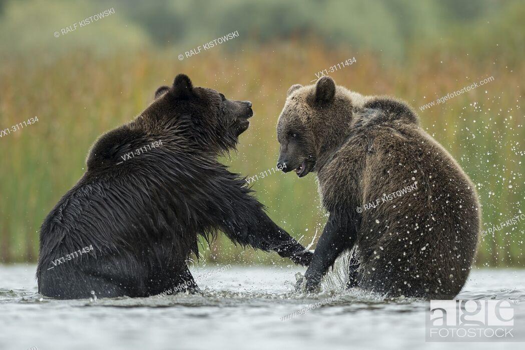 Stock Photo: Eurasian Brown Bears / Europaeische Braunbaeren ( Ursus arctos ) fighting, struggling, in fight, standing on hind legs in the shallow water of a lake, Europe.