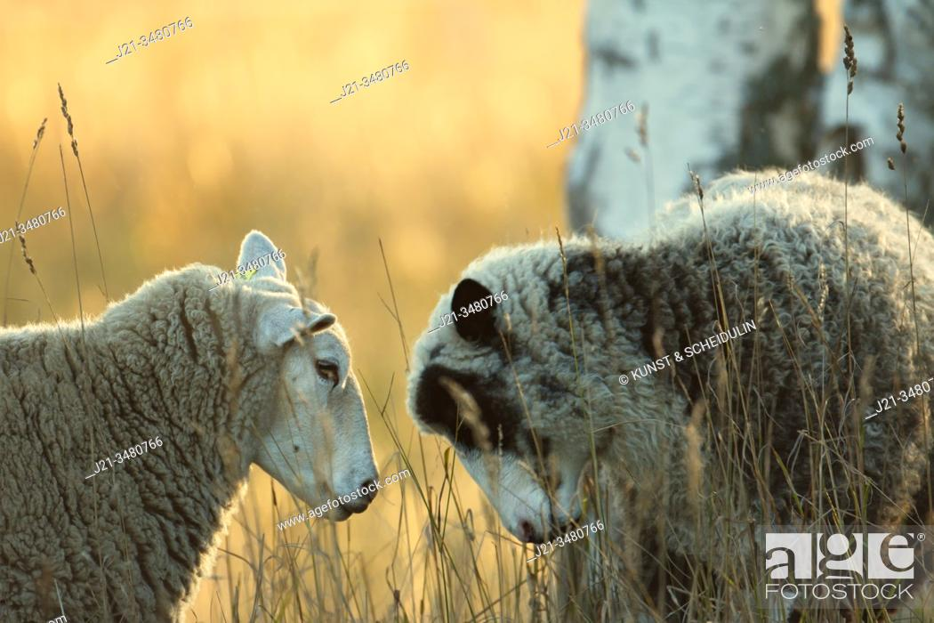 Stock Photo: Two sheep are standing head to head on a pasture at sunset. Västernorrland, Sweden, Europe.