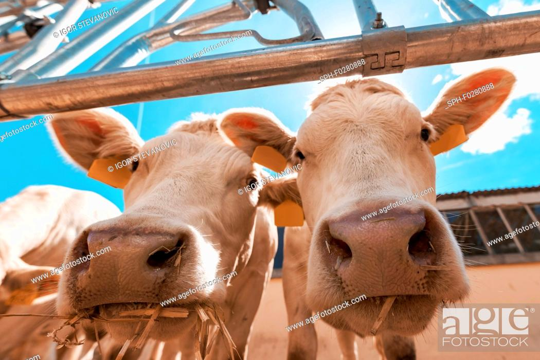 Stock Photo: Curious cows on dairy cattle farm.