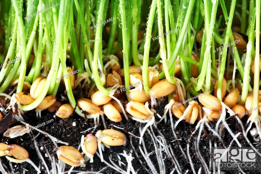 Stock Photo: Wheatgrass roots close-up.