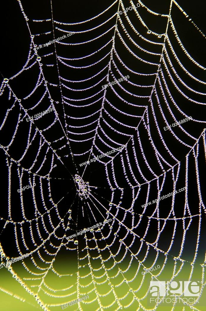 Stock Photo: Spider web of an Araneid Spider with dew drops.