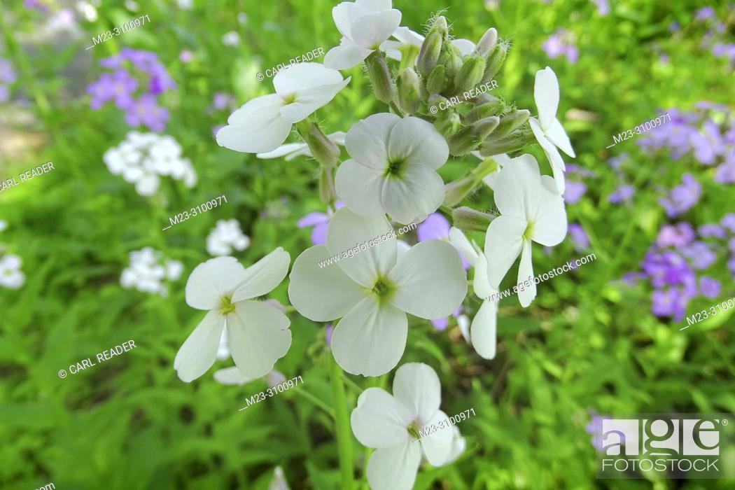 Stock Photo: White rocket wildflower, Pennsylvania, USA.