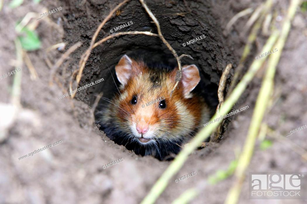 Stock Photo: Black-bellied Hamster (Cricetus cricetus). Office National de la Chasse et de la Faune Sauvage ( ONCFS). Elsenheim. Bas-Rhin. Alsace. France.