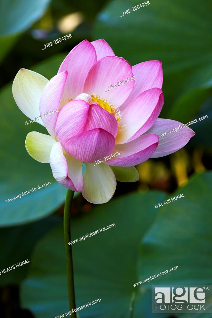 Stock Photo: Indian- or Blue Lotus (Nelumbo nucifera) blossom in a garden pond - Bavaria/Germany.