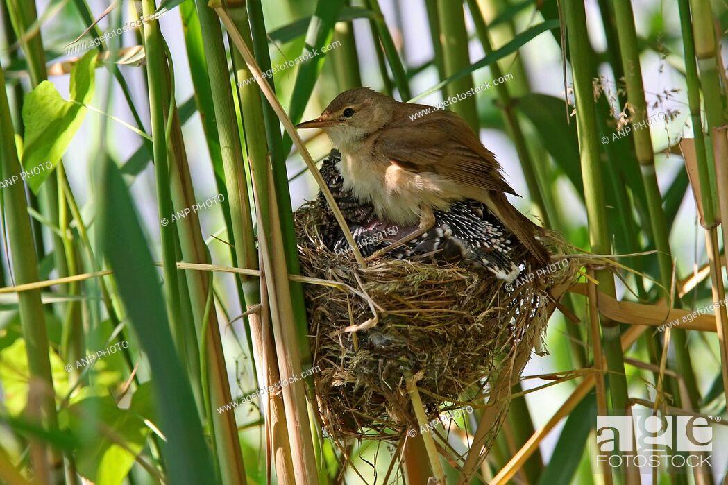 Photo de stock: Common Cuckoo Cuculus canorus - Almelo, Twente, Overijssel, The Netherlands, Holland, Europe.