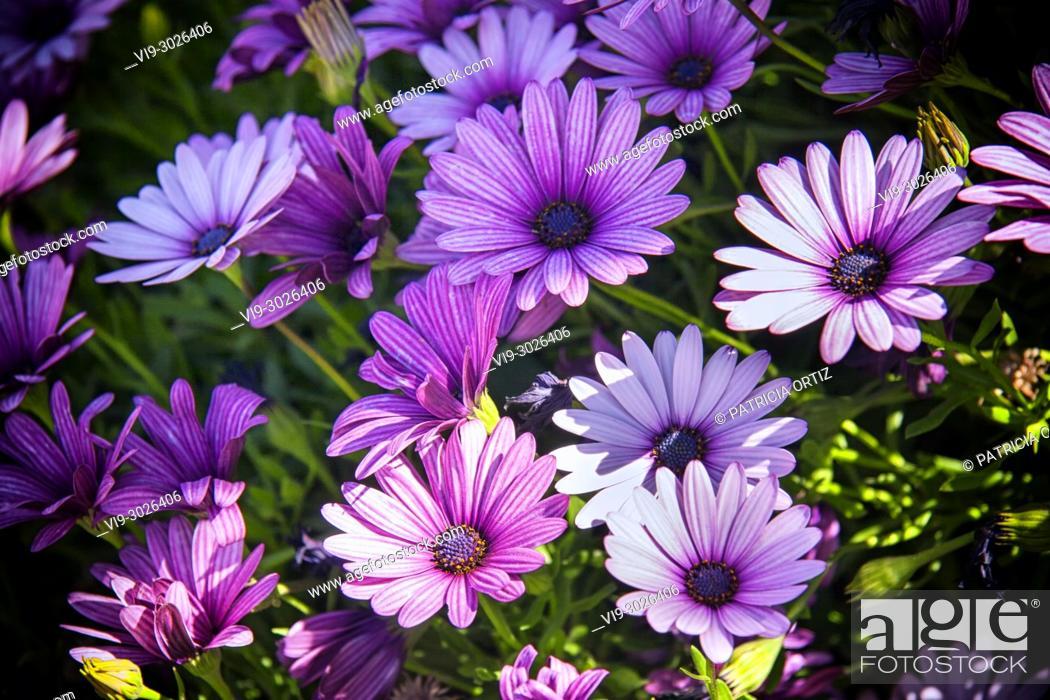 Stock Photo: Margarita flowers.