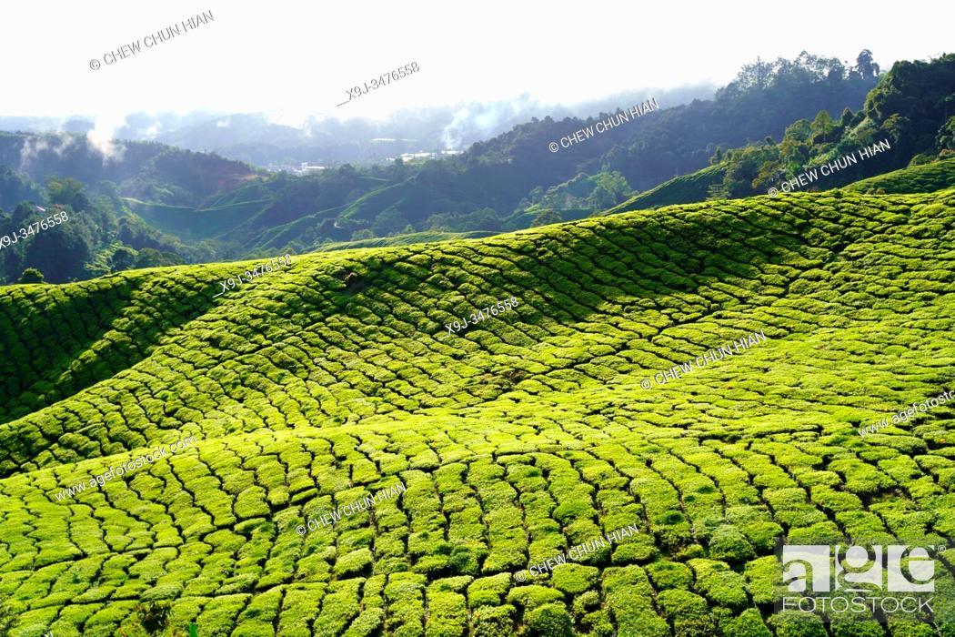 Stock Photo: Tea Plantation, Cameron Heightland, Malaysia.