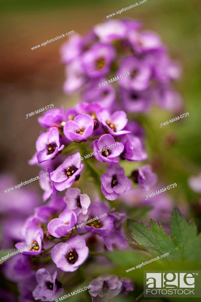 Stock Photo: Lobularia maritima 'Royal Carpet', Alyssum, Purple subject.