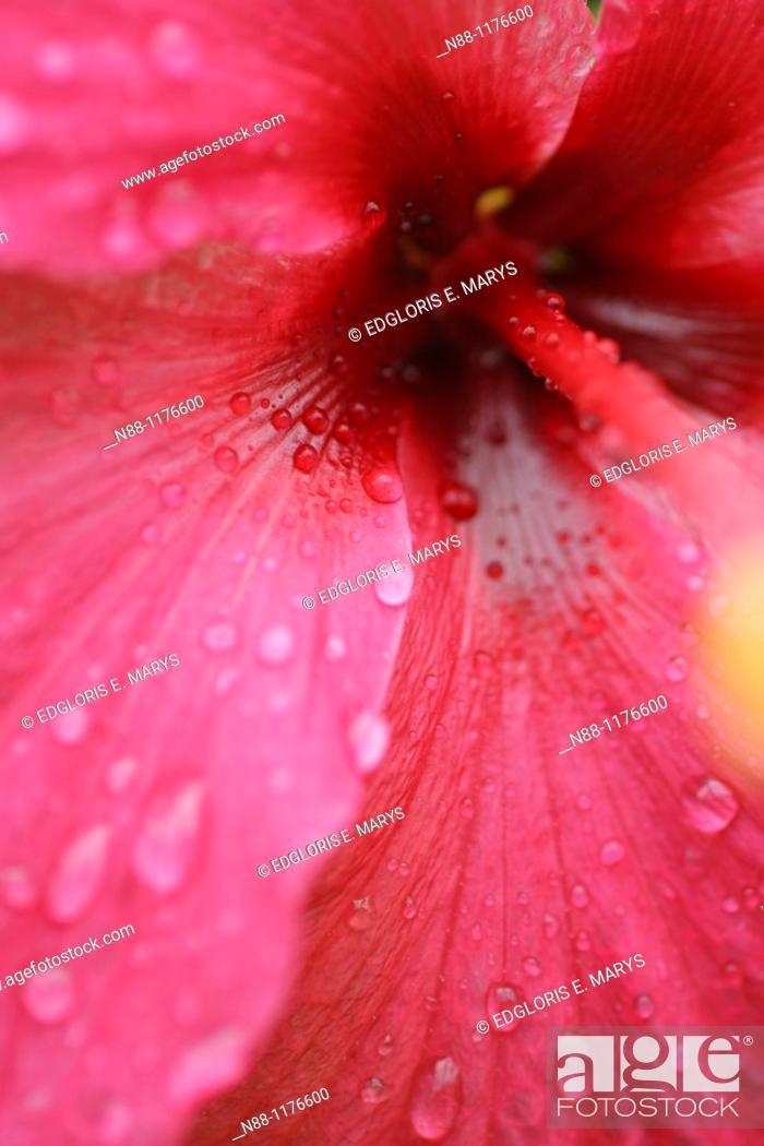 Stock Photo: Close-up of chinese hibiscus, Hibiscus rosa sinensis.