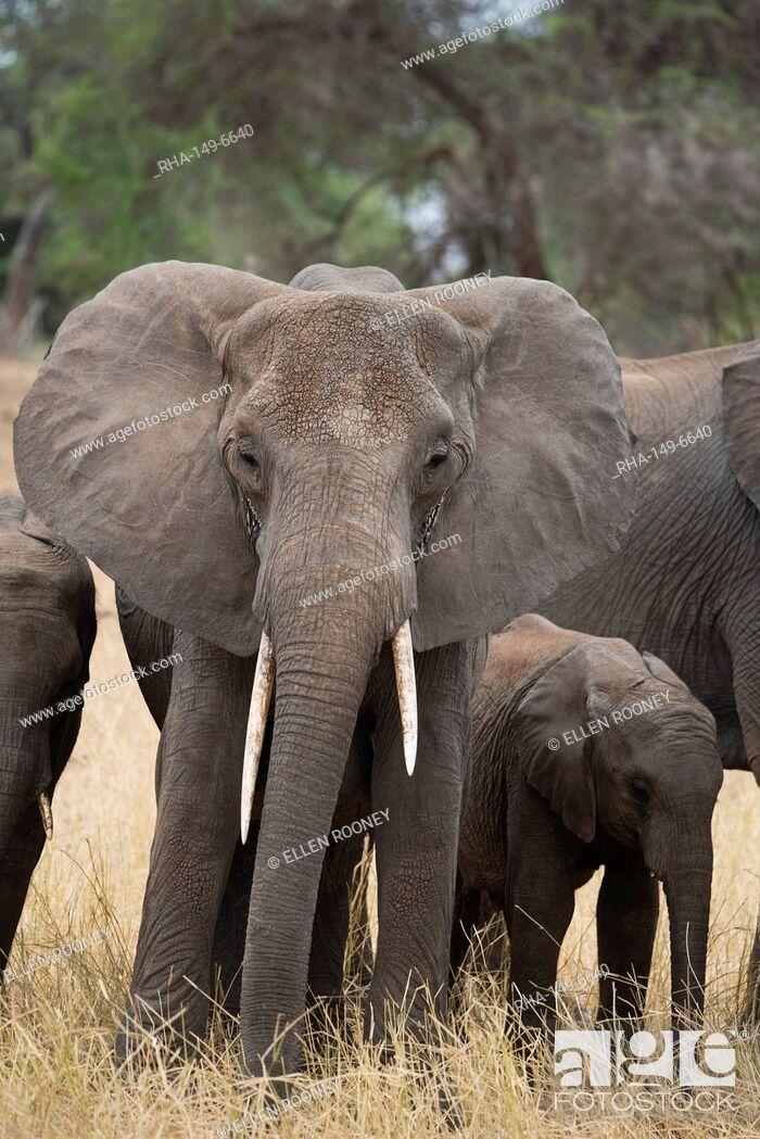 Stock Photo: A mother and baby elephant (Loxondonta africana) in Tarangire National Park, Manyara Region, Tanzania, East Africa, Africa.