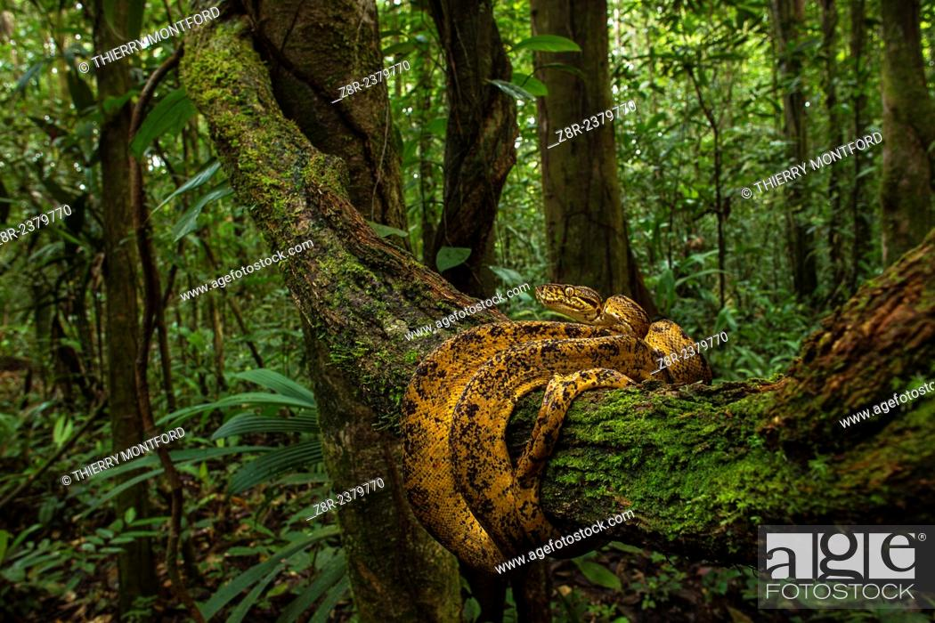Stock Photo: Corallus hortulanus - Cook boa - in the rainforest. French Guiana.