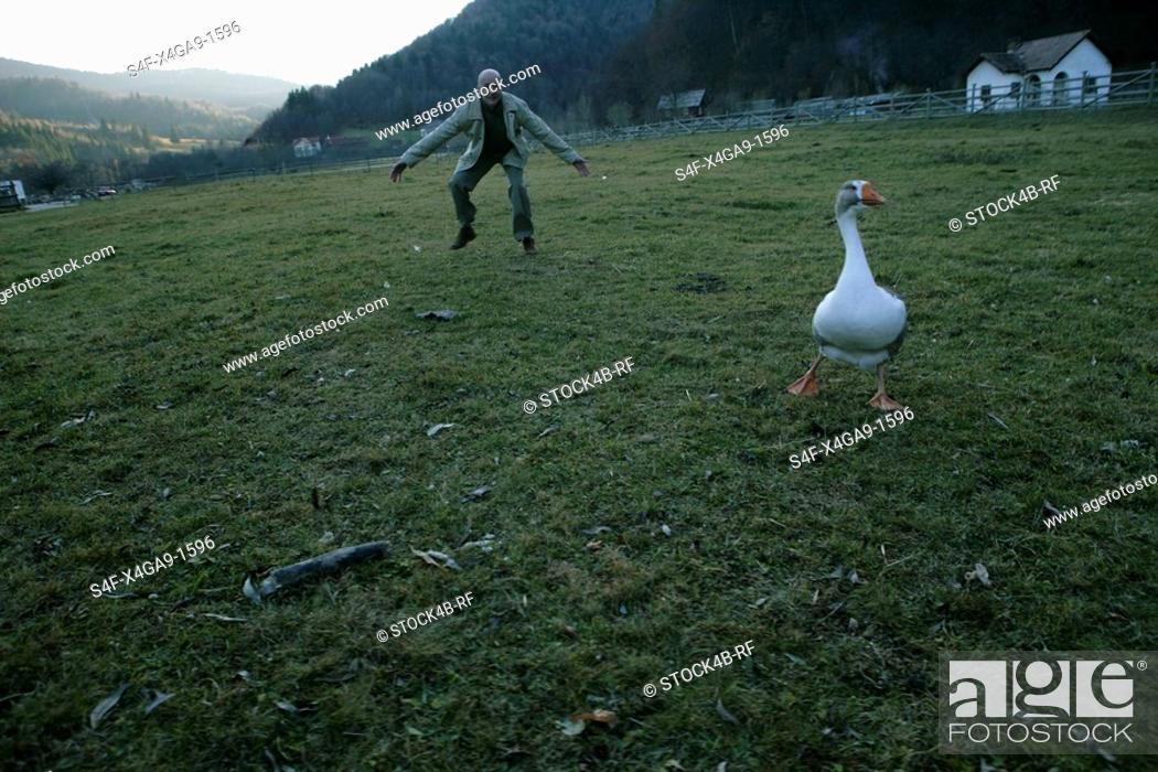 Stock Photo: Mature man trying to catch a goose.