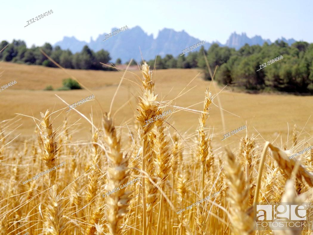 Stock Photo: Wheat on June, Bages, Catalonia, Spain.