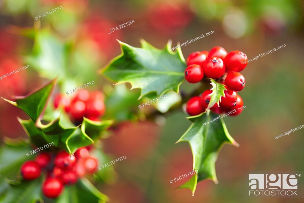 Photo de stock: Holly tree at the Royal Botanical Garden. Madrid. Spain.