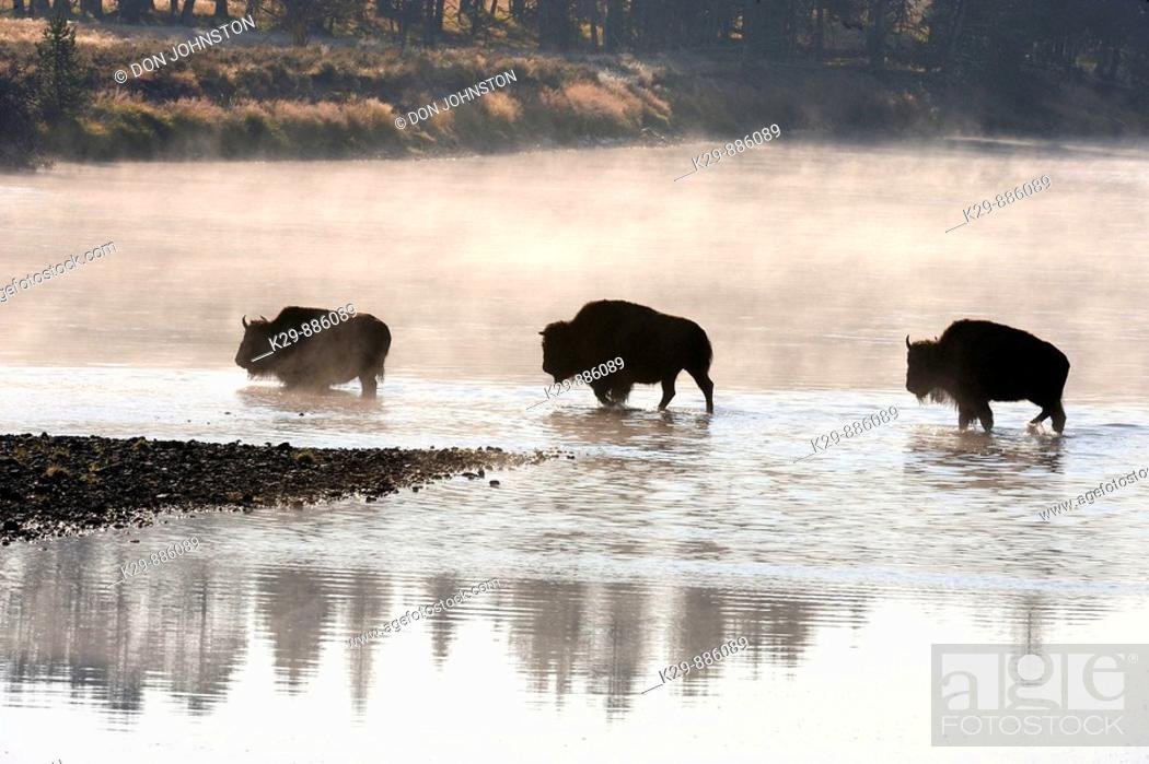 Stock Photo: American Bison Bison bison Wading in Yellowstone River.