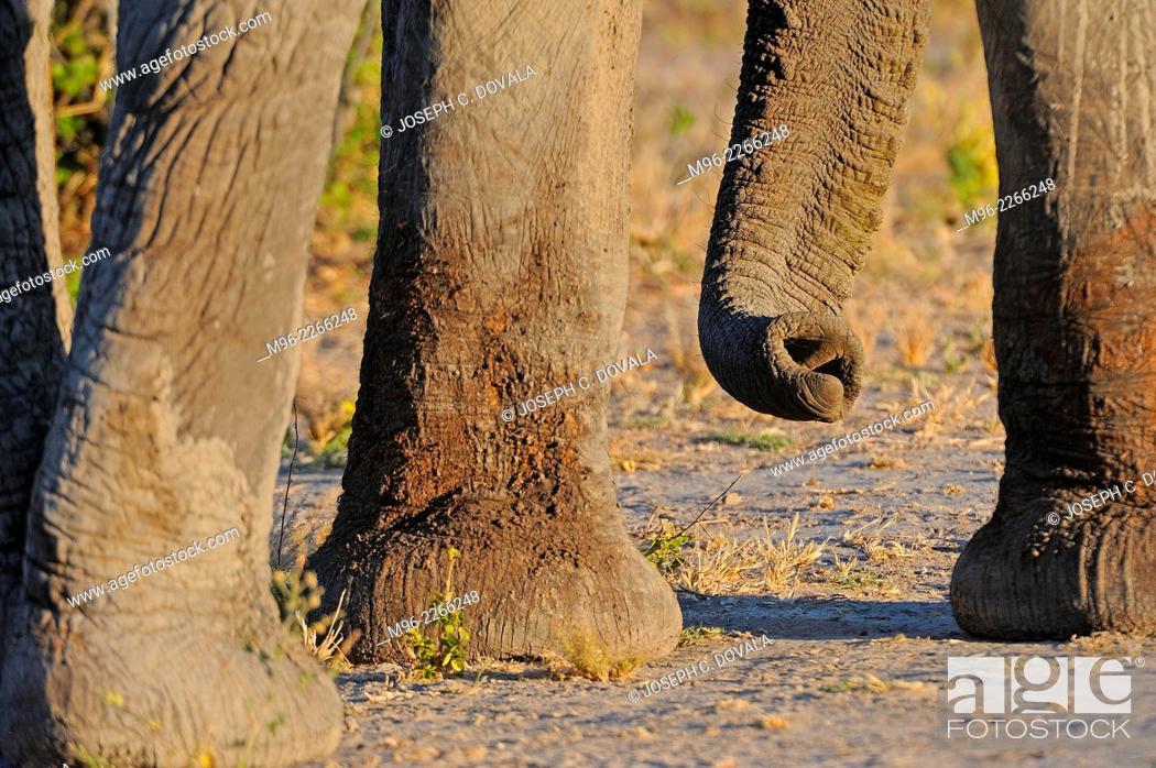 Stock Photo: Elephant feet and trunk, Moremi, Botswana, Africa.