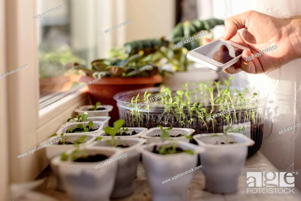 Stock Photo: Young man taking cell phone picture of plants at the window.