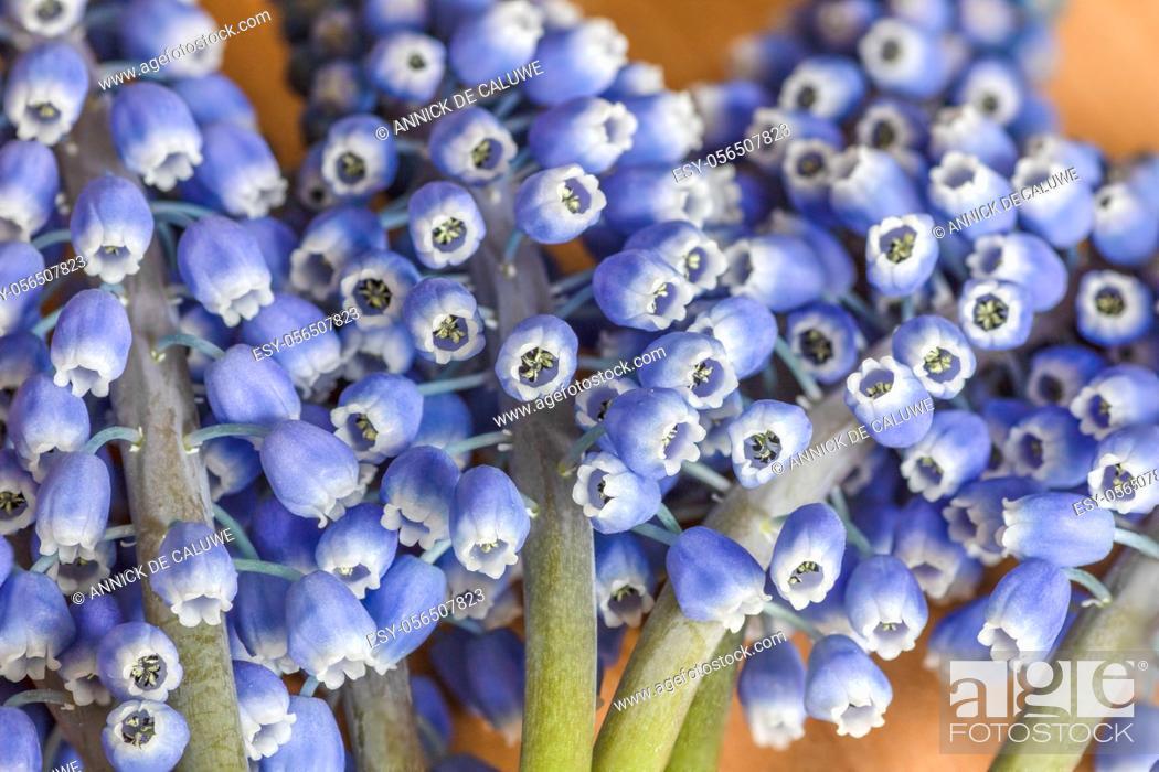 Stock Photo: Muscari armeniacum, grape hyacinth, spring bulb flowers.