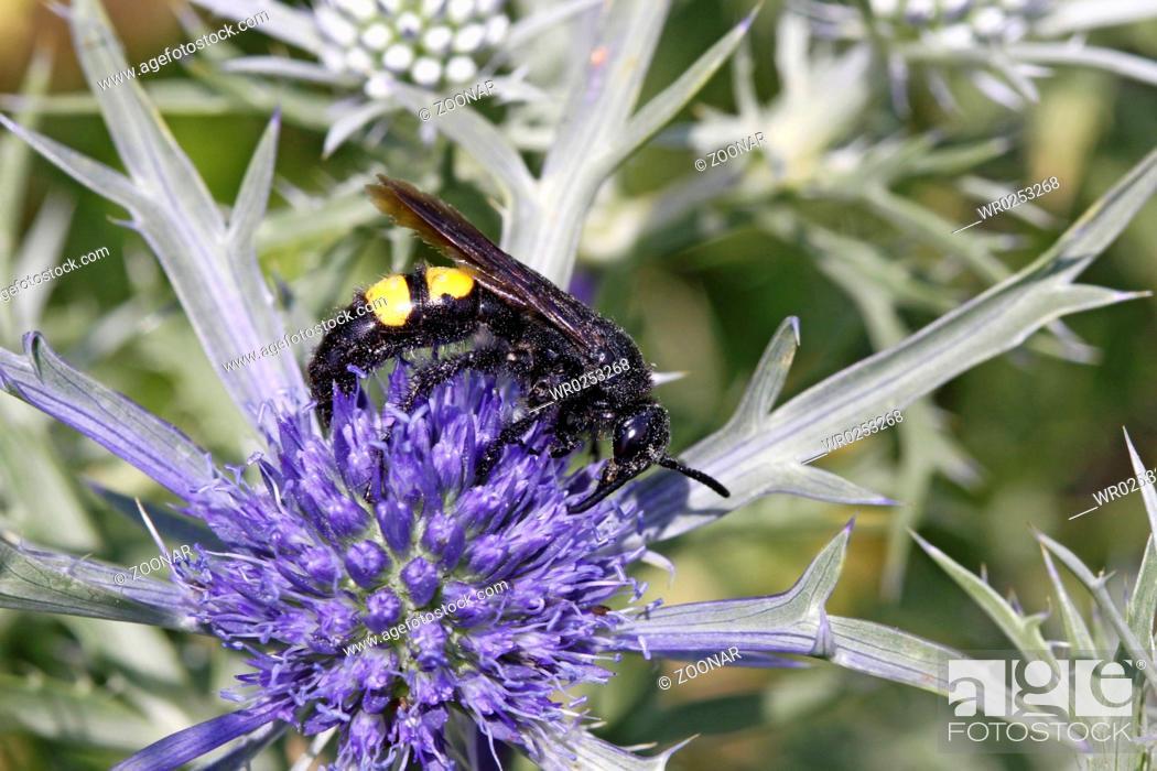 Stock Photo: Scolia hirta, dagger wasp.