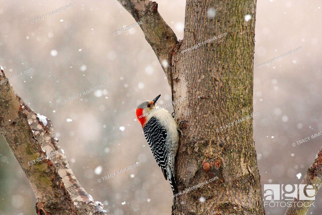Stock Photo: Close up of a female Red-bellied Woodpecker on a tree trunk with a snow falling in the background in winter in Trevor, Wisconsin, USA.
