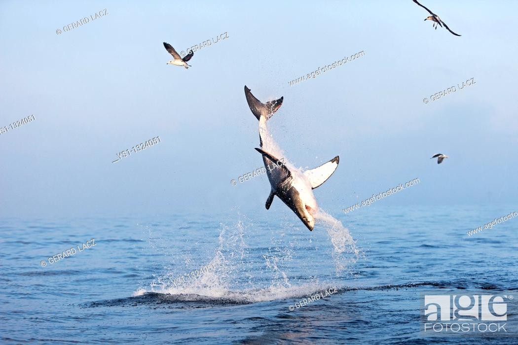 Stock Photo: GREAT WHITE SHARK carcharodon carcharias, ADULT BREACHING, FALSE BAY IN SOUTH AFRICA.