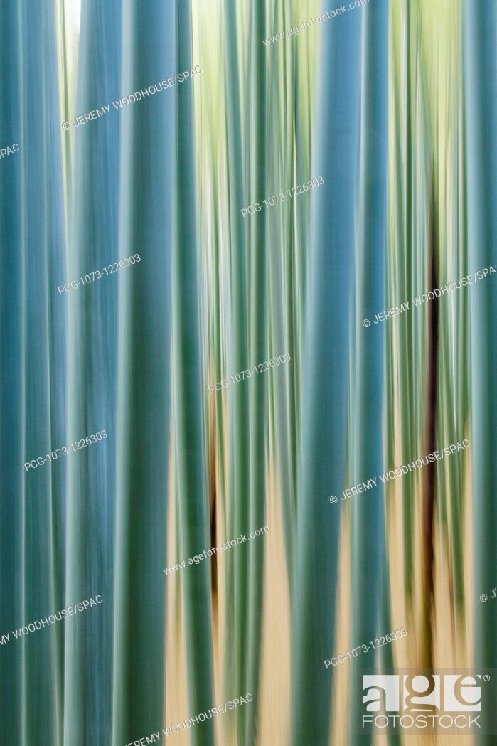 Stock Photo: Bamboo Forest Closeup.
