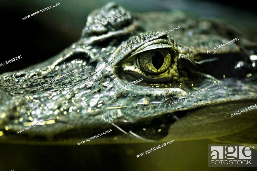 Stock Photo: Caiman Crocodilus yacare.