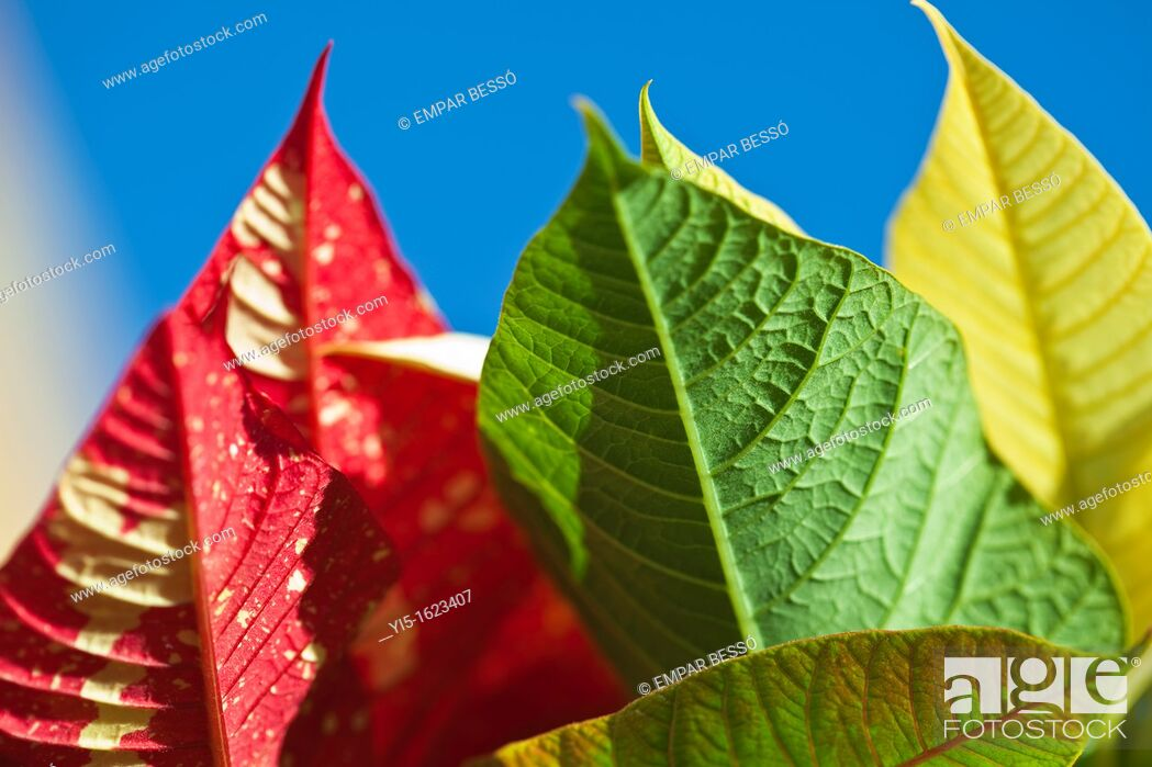 Stock Photo: Poinsettia's leaves, euphorbia pulcherrima. Valencia. Spain.