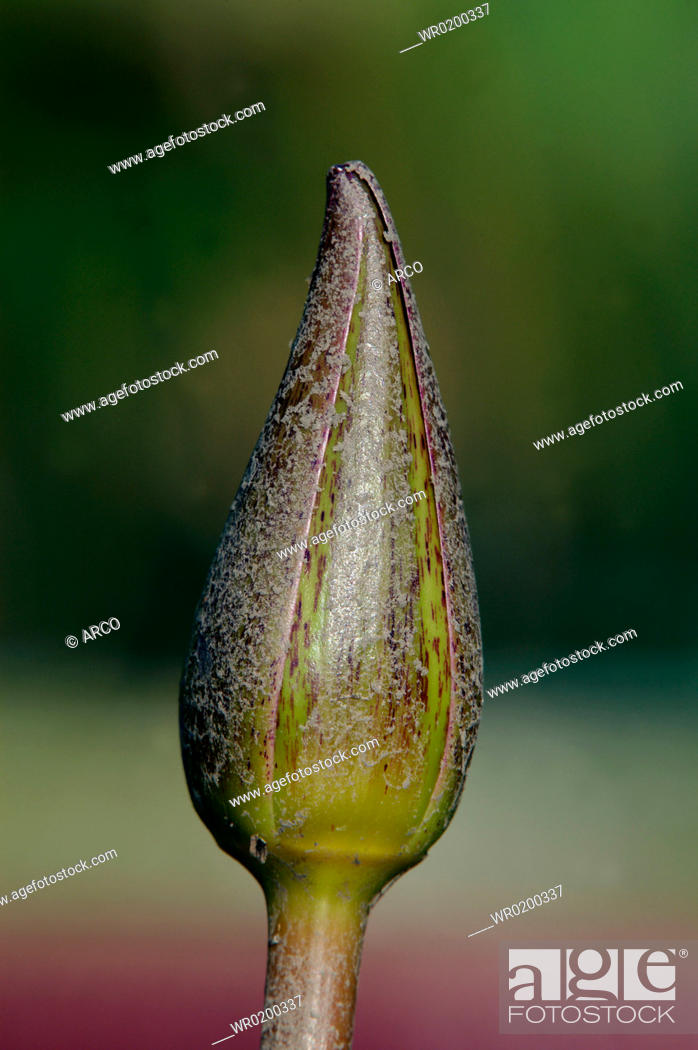 Stock Photo: Water, Lily, butt, Nymphaea, spec.