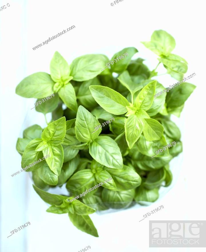 Stock Photo: A pot of basil.
