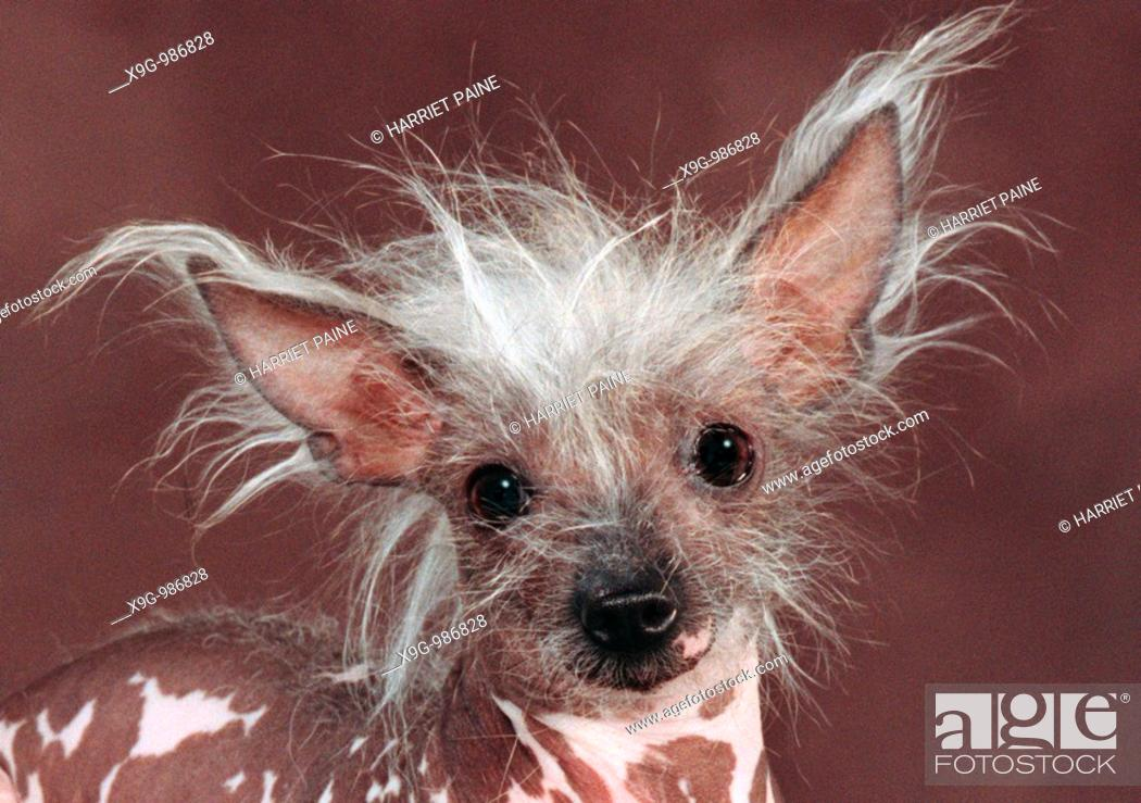 Stock Photo: Chinese Crested.