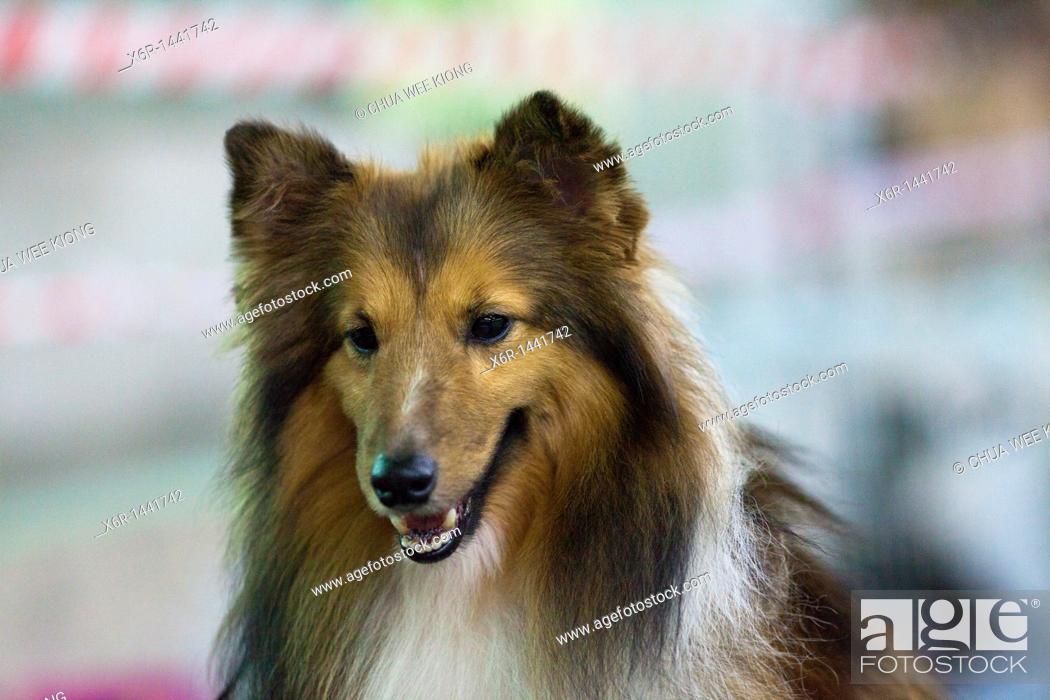 Stock Photo: Shetland Sheepdog.