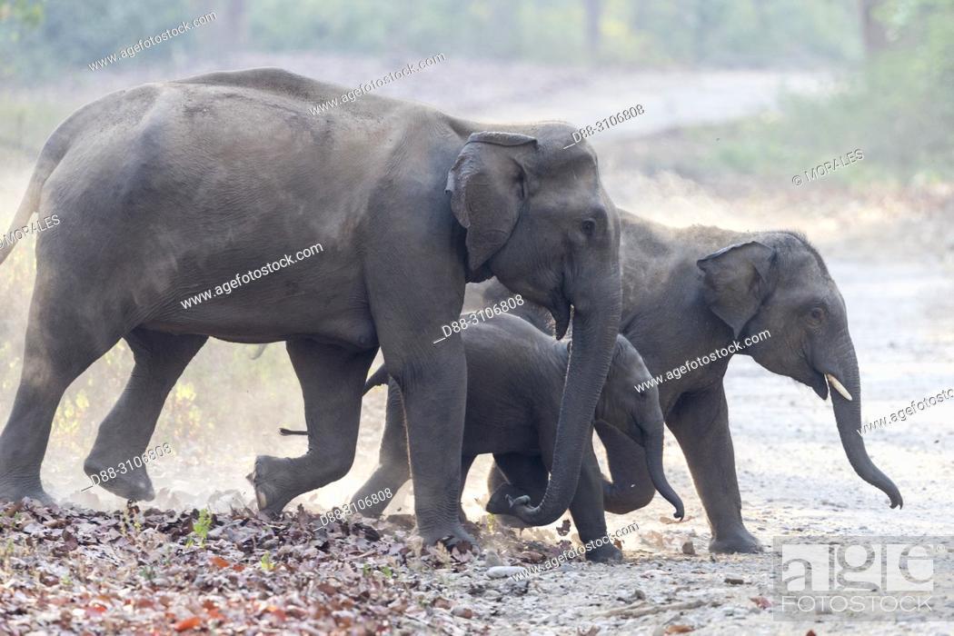 Stock Photo: Asia, India, Uttarakhand, Jim Corbett National Park, Asian or Asiatic elephant (Elephas maximus). Group walking in the forest.