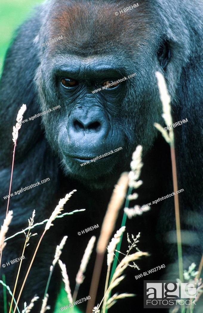 756b4052eea39 Stock Photo - lowland gorilla Gorilla gorilla gorilla