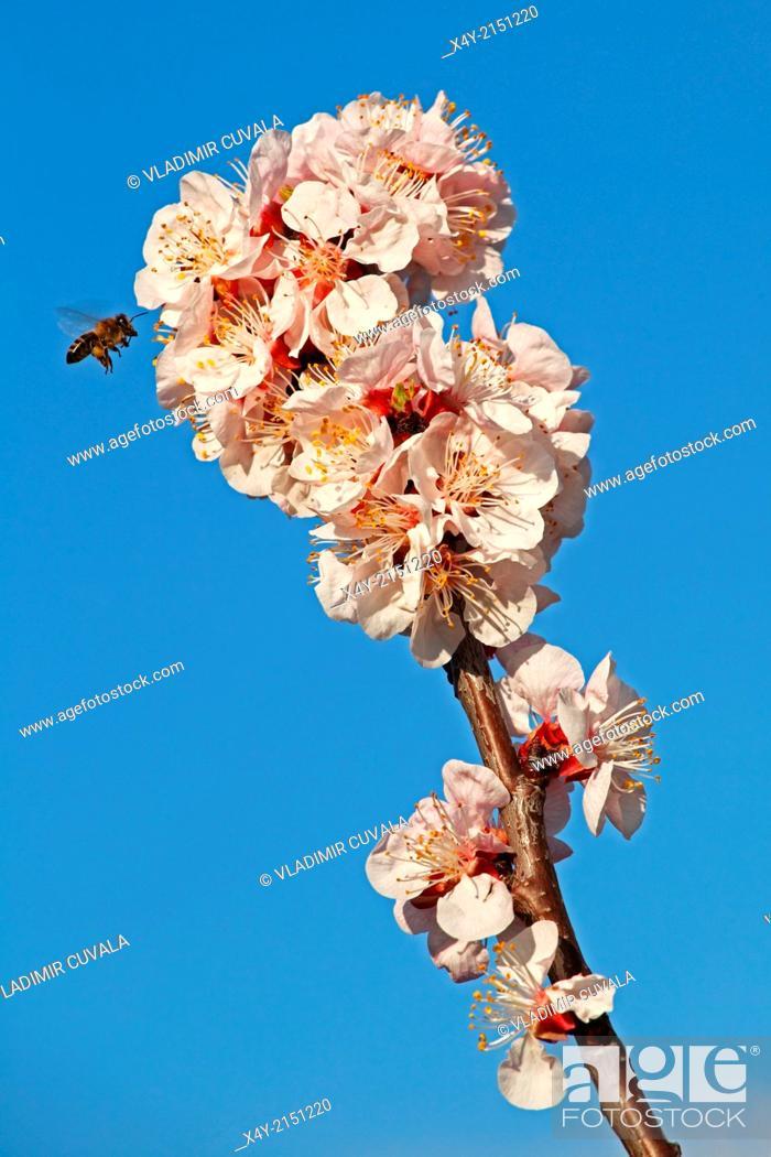 Stock Photo: European honey bee (Apis mellifera) collecting nectar on Apricot flowers (Prunus armeniaca), variety Bhart. Location: Male Karpaty, Slovakia.
