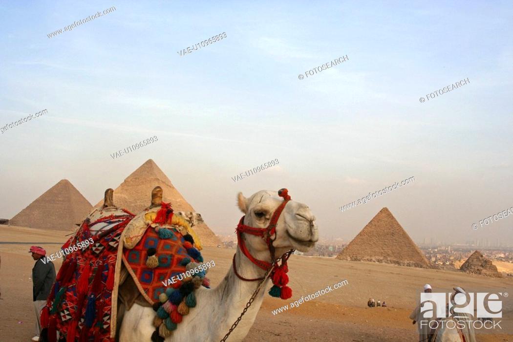 Stock Photo: Egypt, Giza, Pyramids, Camels.