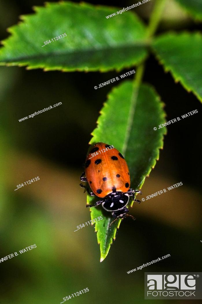 Stock Photo: A ladybug on a leaf, the Hippodamia convergens, or convergent lady beetle.