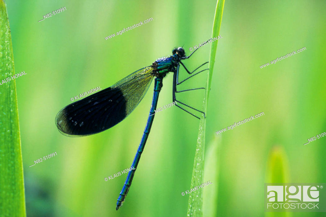 Stock Photo: Banded Demoiselle male (Calopteryx splendens) in dew.