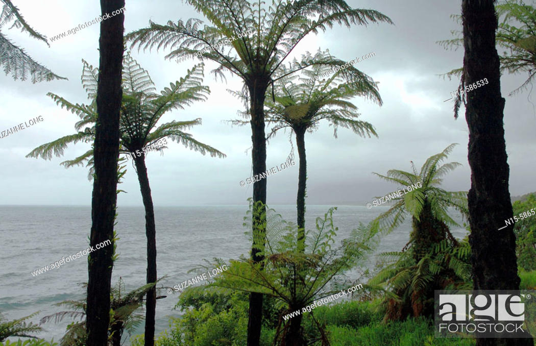 Stock Photo: Tree ferns on the wiild west coast of the South Island, Jackson Bay Road, Tasman Sea, New Zealand.
