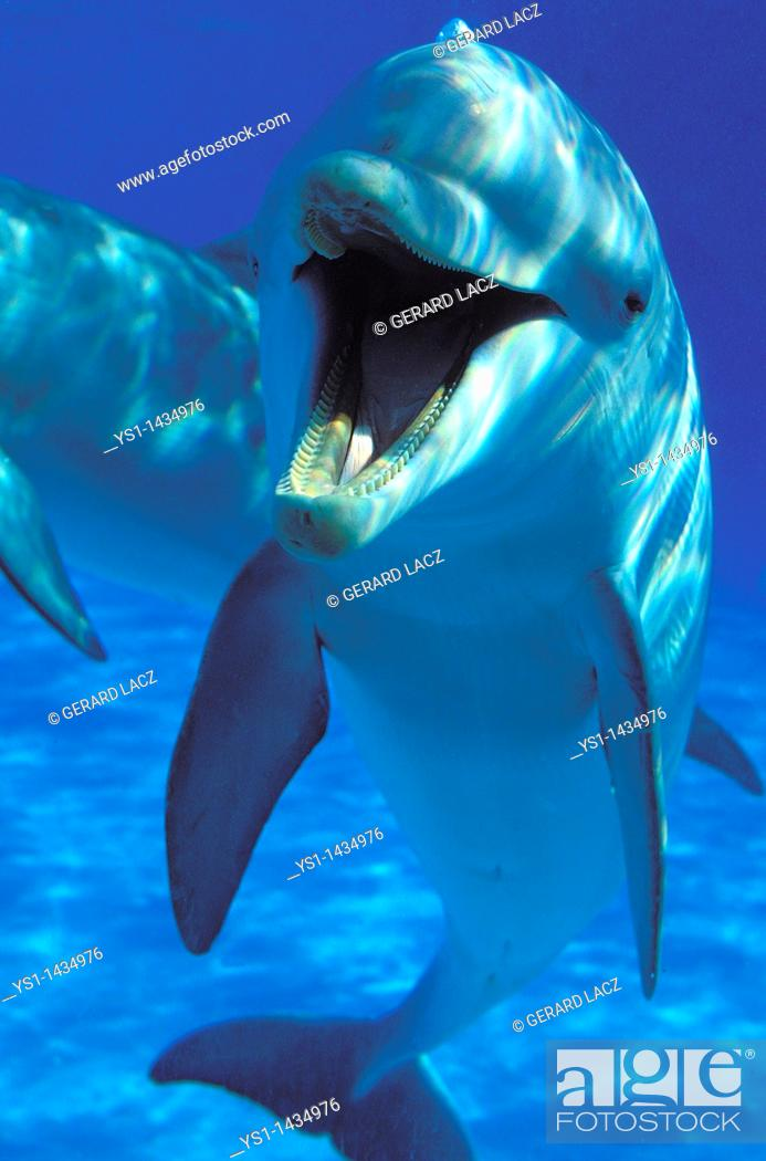 Stock Photo: BOTTLENOSE DOLPHIN tursiops truncatus, ADULT, UNDERWATER VIEW , HONDURAS.
