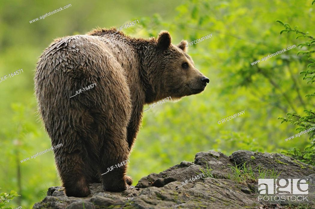 Stock Photo: Brown bear - standing / Ursus arctos.