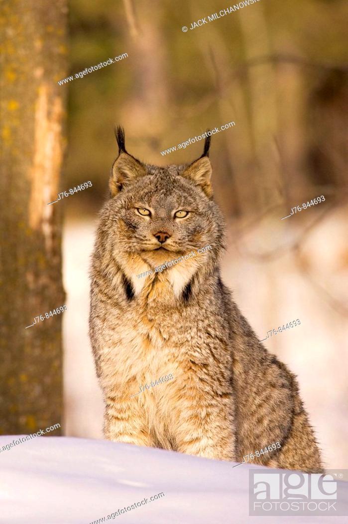 Stock Photo: Lynx Lynx lynx in winter.